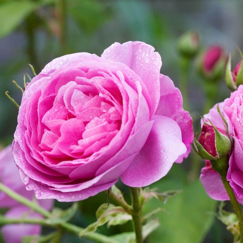 Most Fragrant Roses