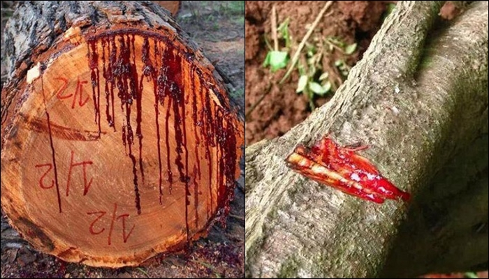 Bloodwood Tree Mystery In Hindi