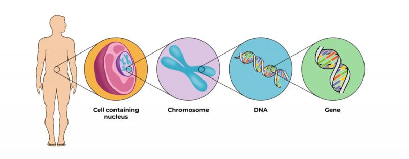 What is a Chromosome and Its Functionality