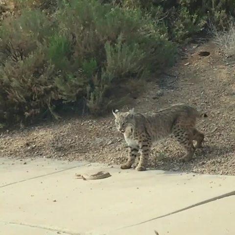 Bobcat Vs. Rattlesnake watch video