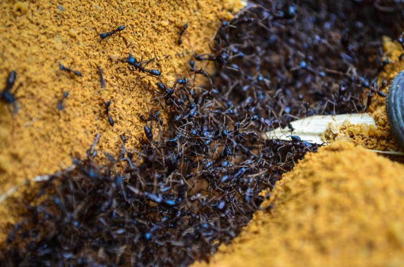 Saifu Ants