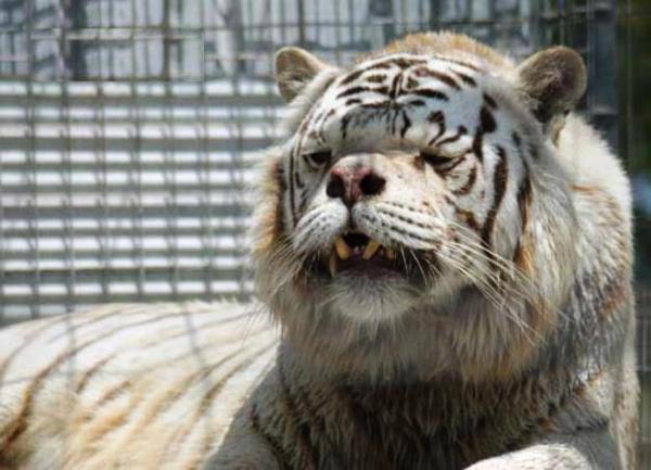 Inbred white tiger Kenny