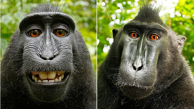 Monkey Does Not Own Selfie Copyright, Appeals Ruledout by Jury in USA.