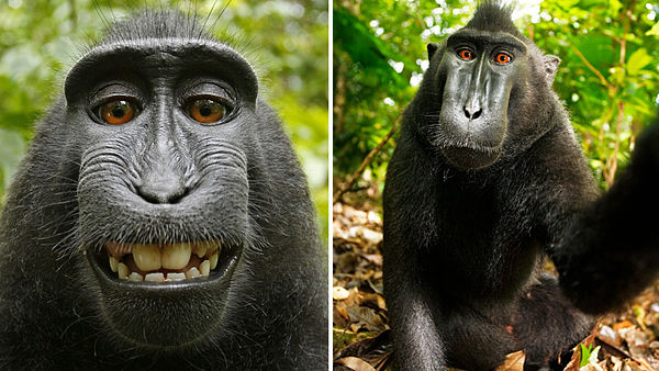 Monkey Does Not Own Selfie Copyright, Jury in USA.