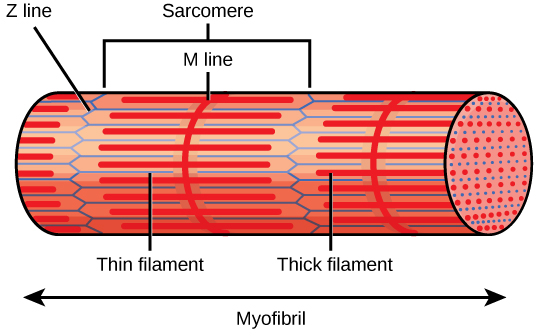 What Is Sarcomere
